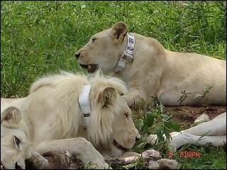 Gps Based Wildlife Animal Tracking System